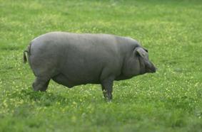 Resultado de imagen de cerdo ibérico cruzado